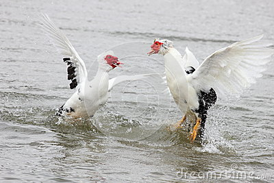 Fighting Muscovy Ducks