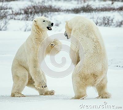 Free Fighting Polar Bears (Ursus Maritimus ) On The Snow. Royalty Free Stock Photos - 65444228