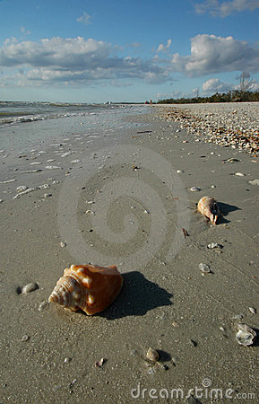 Fighting whelk on beach