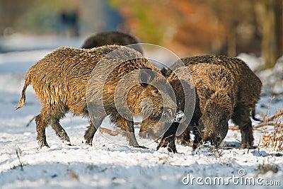 Fighting wild boar