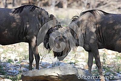 Fighting Wildebeests
