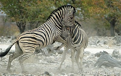Fighting zebras