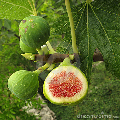 Free Figs On Tree Royalty Free Stock Images - 10634039