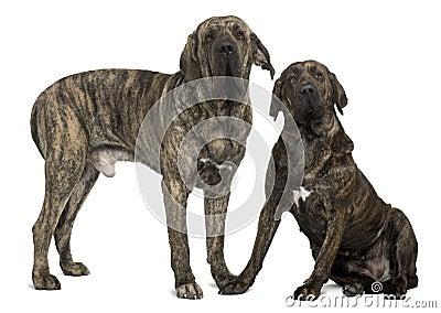 Fila braziliero or Brazilian Mastiffs, standing