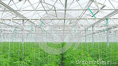 Filas de las plantas hidropónicas del tomate almacen de metraje de vídeo