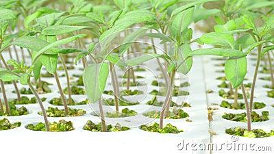 Filas de las plantas hidropónicas del tomate almacen de video