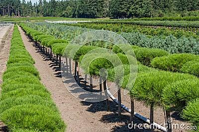 Filas de los arbustos ornamentales del pino foto de for Arbustos ornamentales