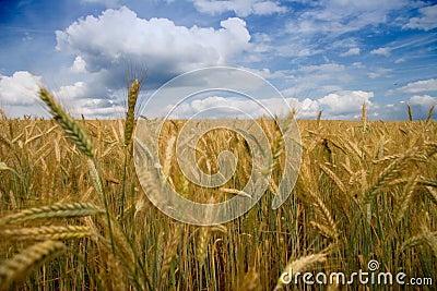 Filed of grain