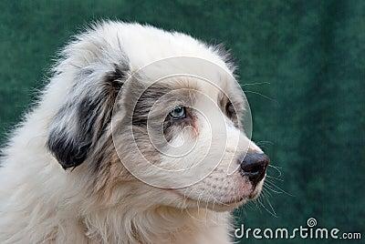 Filhote de cachorro australiano do pastor