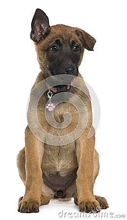 Filhote de cachorro belga do pastor, 3 meses velho, sentando-se