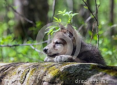 Filhote de cachorro de lobo