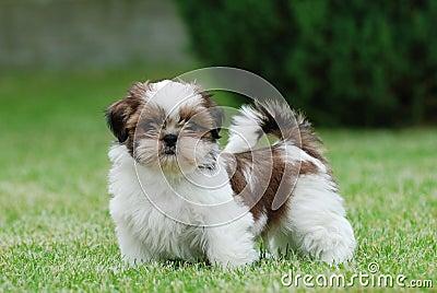 Filhote de cachorro de Shitzu