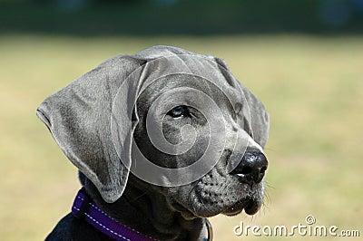 Filhote de cachorro do grande dinamarquês