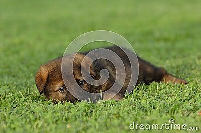 Filhote de cachorro do pastor alemão
