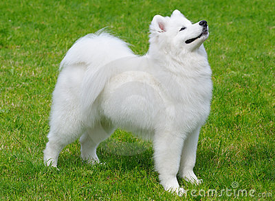 Filhote de cachorro do Samoyed