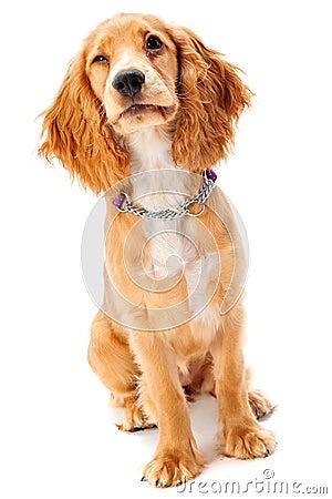 Filhote de cachorro do Spaniel de Cocker