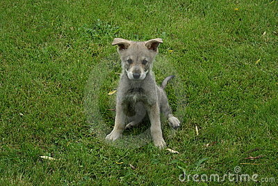 Filhote de cachorro do wolfdog de Saarloos
