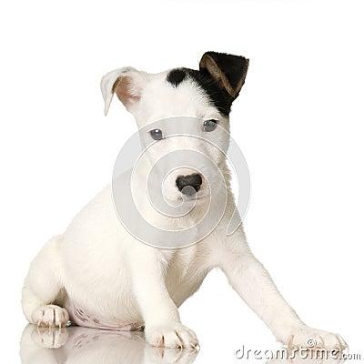 Filhote de cachorro Jack Russel