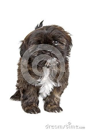 Filhote de cachorro preto e branco do tzu do shih