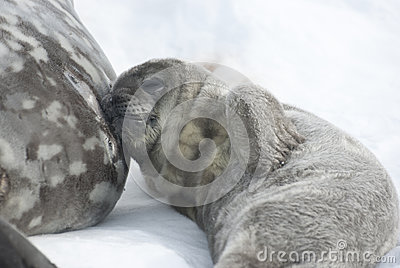 Filhotes de cachorro de selo de Weddell que descansam após uma refeição.