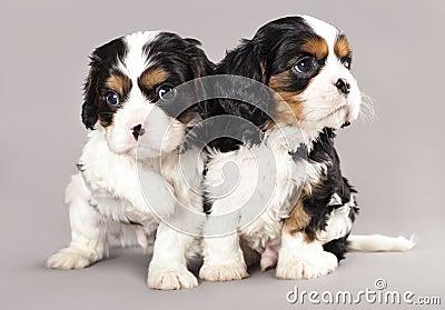 Filhotes de cachorro descuidados do spaniel de rei Charles