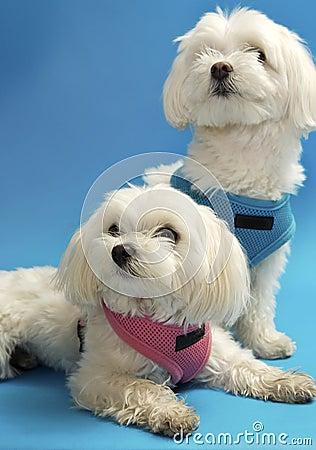Filhotes de cachorro malteses