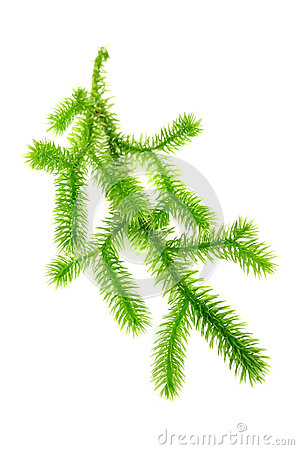 Filial do musgo de clube (Lycopodium Clavatum)