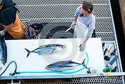 Harvesting fish Editorial Stock Photo