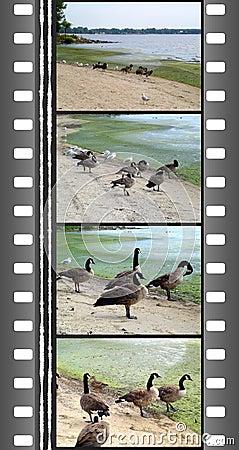 Free Film Of Wild Gooses Royalty Free Stock Photo - 617425