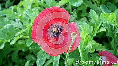 Filme de Abelhas enxameando a flor vermelha Vídeo Fechar foco bonito coletando pólen floral Abelhas de mel video estoque