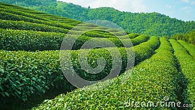 Fim crescente do chá acima Montanhas de Tailândia