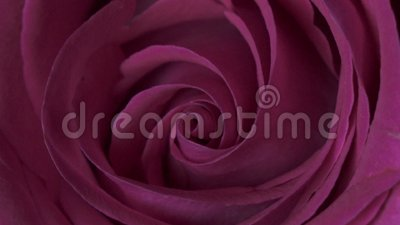 Fim de Rose Flower acima do fundo Obscuridade bonita - close up de Rosa vermelha Símbolo do amor Projeto de Valentine Card HD 108 video estoque