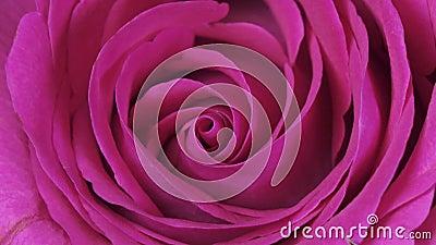 Fim de Rose Flower acima do fundo Obscuridade bonita - close up de Rosa vermelha Símbolo do amor Projeto de Valentine Card HD 108 filme