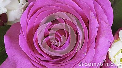 Fim de Rose Flower acima do fundo Obscuridade bonita - close up de Rosa vermelha Símbolo do amor Projeto de Valentine Card HD 108 vídeos de arquivo