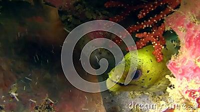 Fimbriated moray, Darkspotted moray Gymnothorax fimbriatus in Raja Ampat stock video