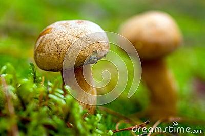 Fin de champignon de couche de bolete de velours vers le haut