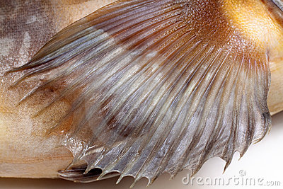 Fin greenling