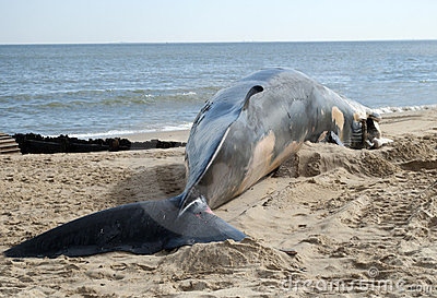 Fin Whale Beached