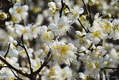 Spring apple flower blossom - Sakura.