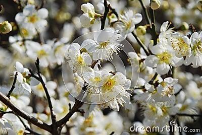 Spring apple flower blossom - Sakura.