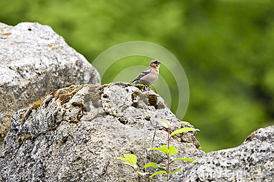 Finch on a rock