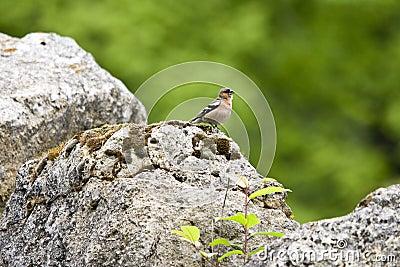 Finch on a rock