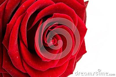 Fine della rosa di colore rosso in su