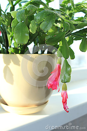Free Fine Pink Flower Of Schlumbergera Royalty Free Stock Photography - 29553857