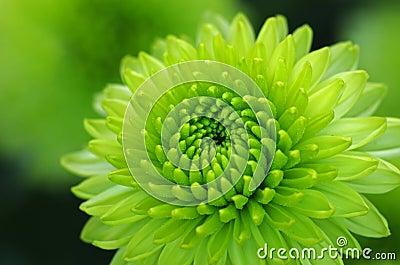Fine verde del fiore della dalia su fotografia stock - Dalia pianta ...