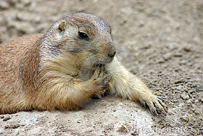 Finger Licking Good Prairie Dog