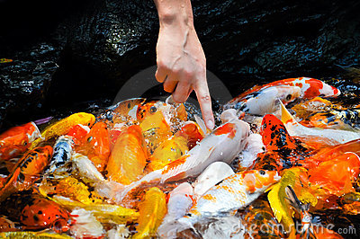 Finger touching colorful koi carps