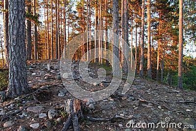 Finland: Pine forest