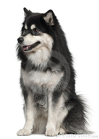 Finnish Lapphund, 1 year old, sitting