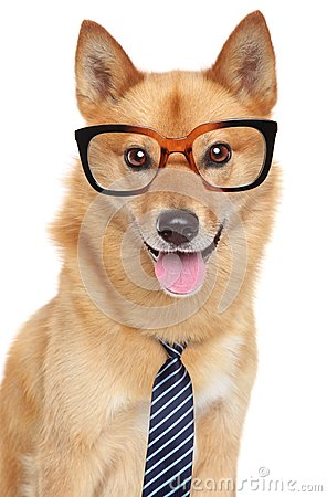 Finnish spitz dog. Funny portrait